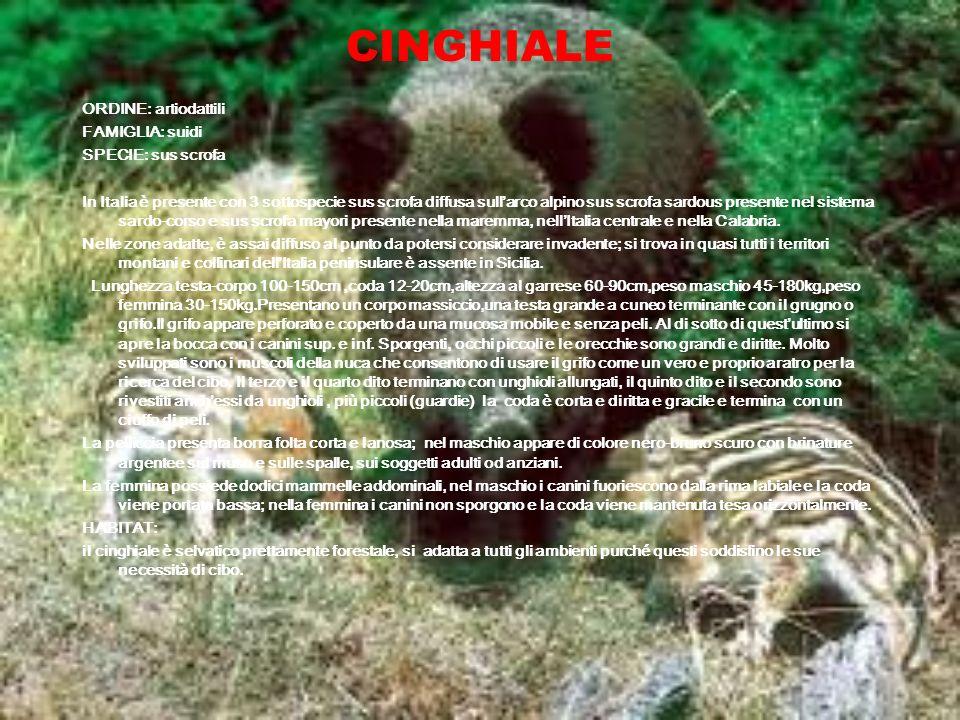 CINGHIALE ORDINE: artiodattili FAMIGLIA: suidi SPECIE: sus scrofa