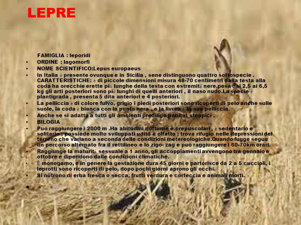 LEPRE FAMIGLIA : leporidi ORDINE : lagomorfi