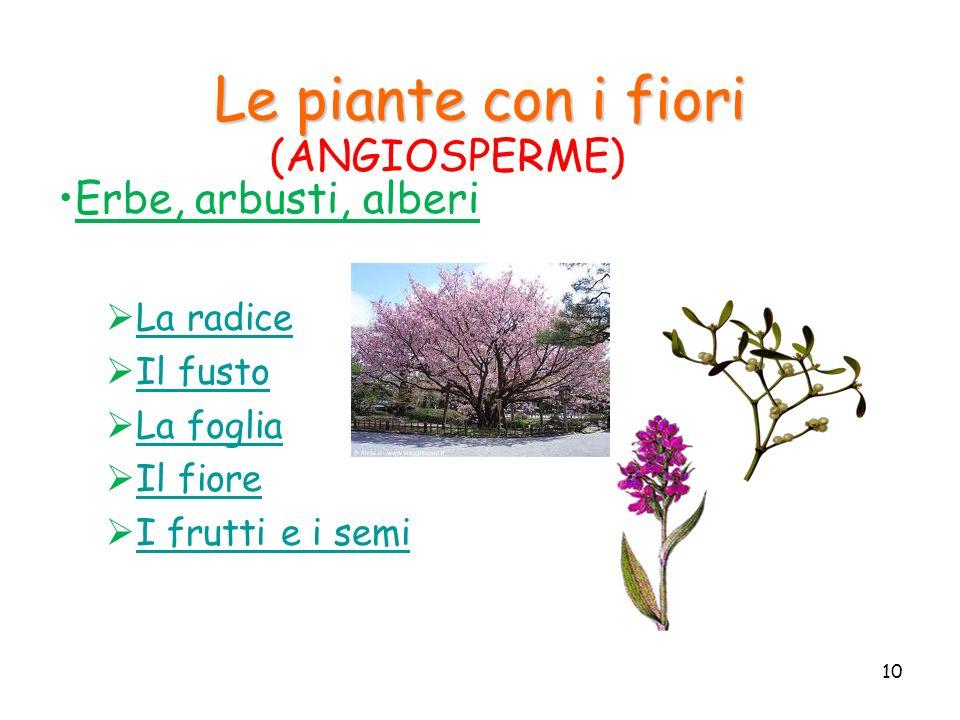 Le piante con i fiori (ANGIOSPERME) Erbe, arbusti, alberi La radice