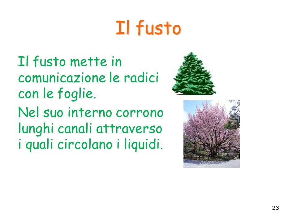Il fusto Il fusto mette in comunicazione le radici con le foglie.