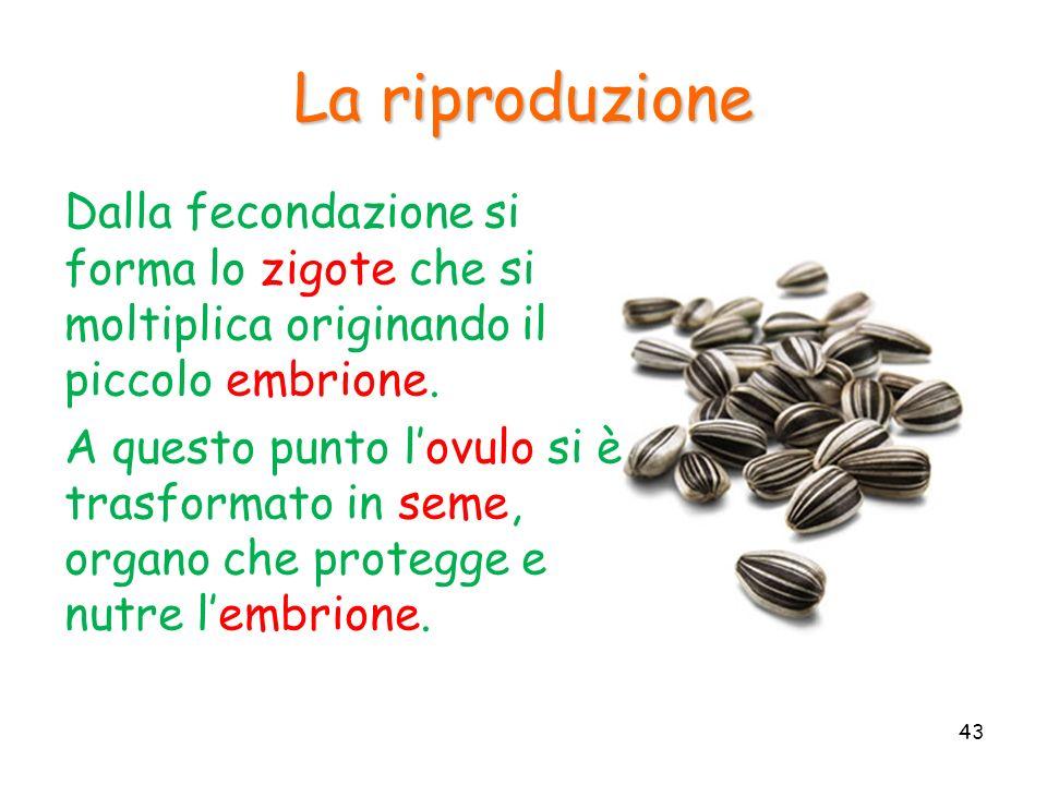 La riproduzione Dalla fecondazione si forma lo zigote che si moltiplica originando il piccolo embrione.