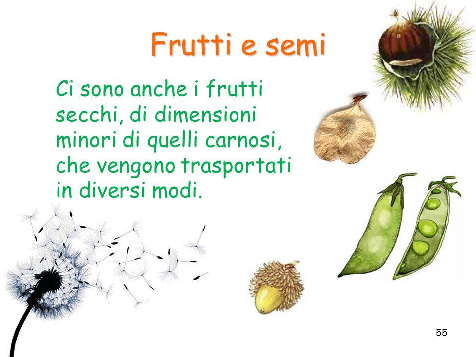 Frutti e semi Ci sono anche i frutti secchi, di dimensioni minori di quelli carnosi, che vengono trasportati in diversi modi.