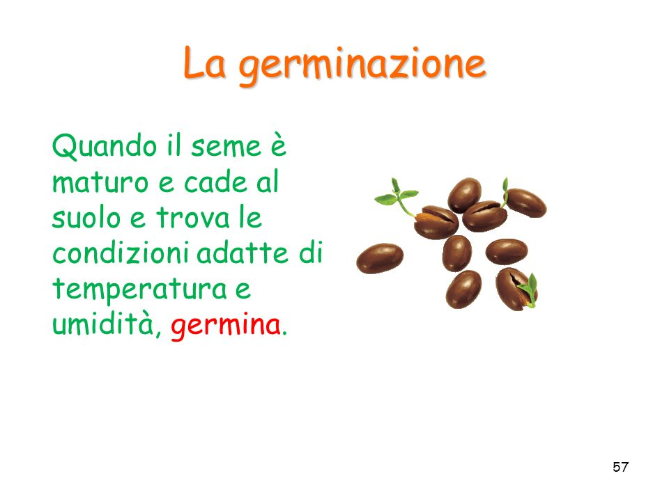 La germinazione Quando il seme è maturo e cade al suolo e trova le condizioni adatte di temperatura e umidità, germina.