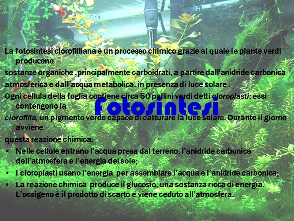 La fotosintesi clorofilliana è un processo chimico grazie al quale le piante verdi producono