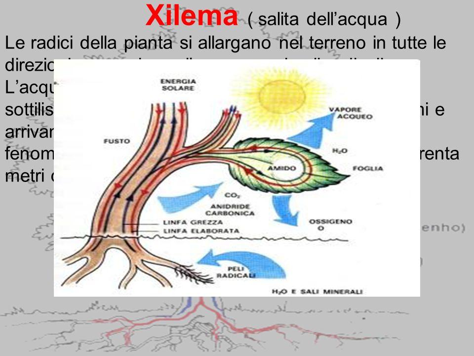 Xilema ( salita dell'acqua )