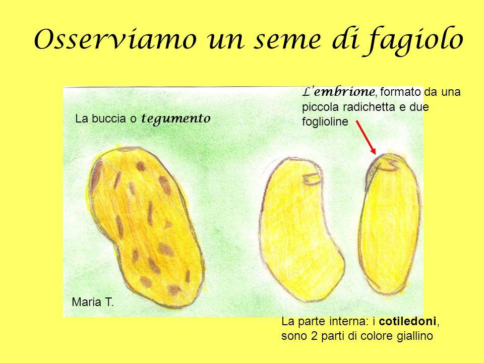 Osserviamo un seme di fagiolo