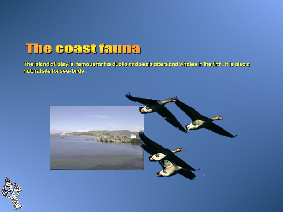 The coast faunaThe island of Islay is famous for his ducks and seals,otters and whales in the firth.