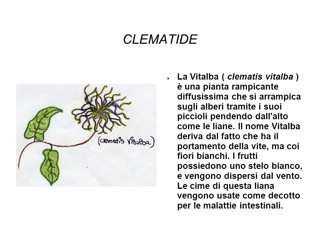 CLEMATIDE