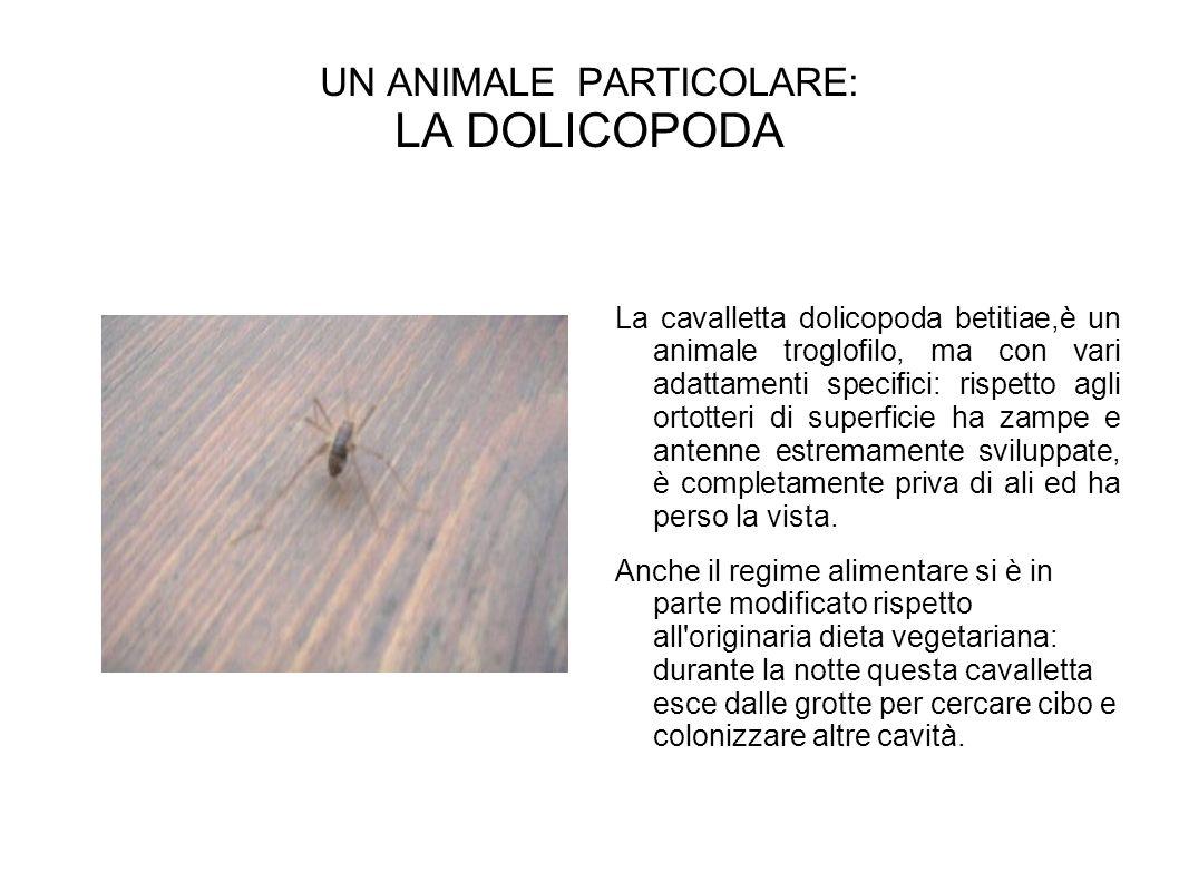 UN ANIMALE PARTICOLARE: LA DOLICOPODA
