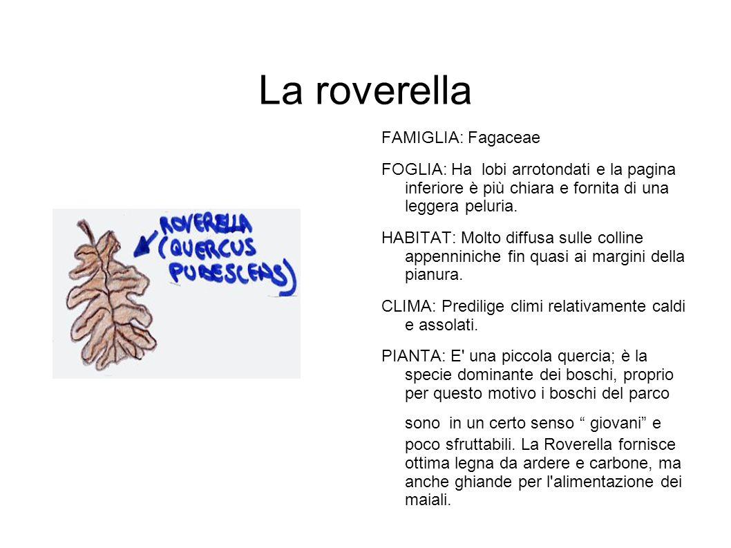 La roverella FAMIGLIA: Fagaceae