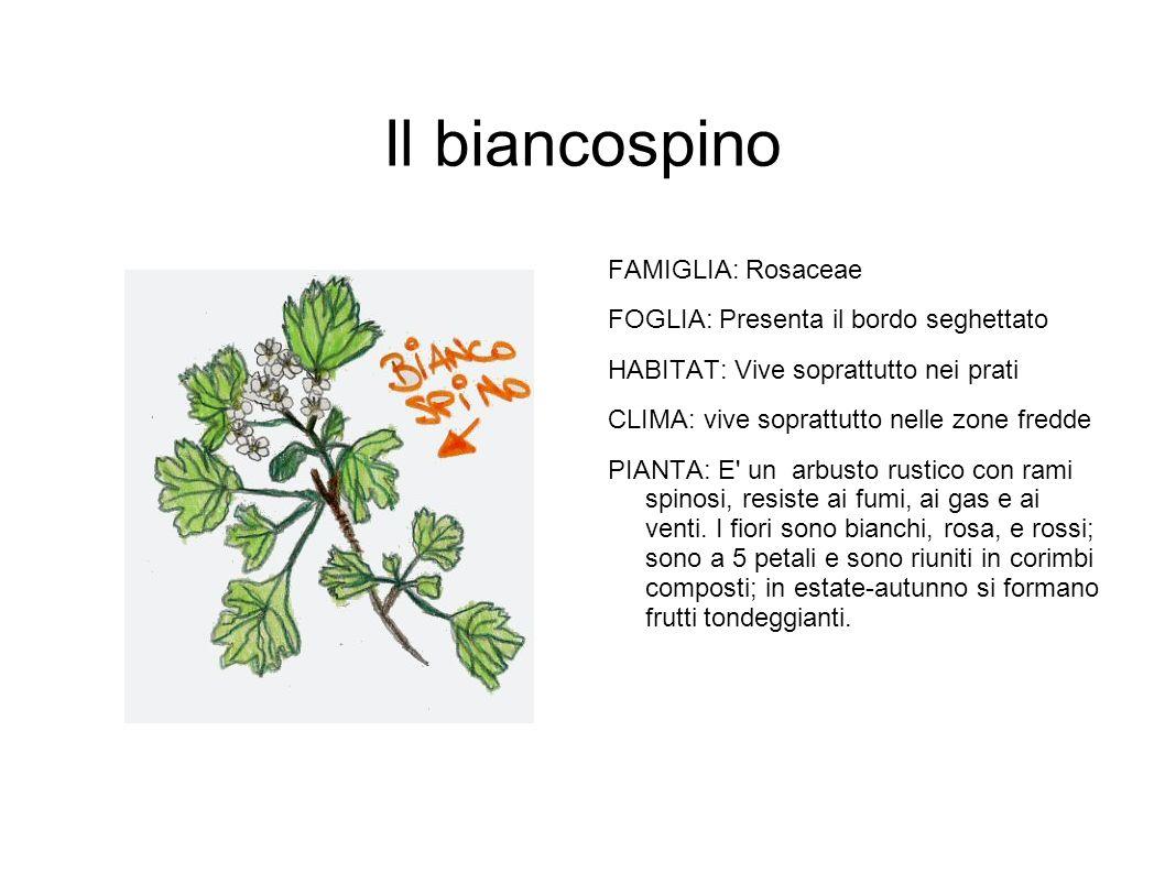Il biancospino FAMIGLIA: Rosaceae FOGLIA: Presenta il bordo seghettato