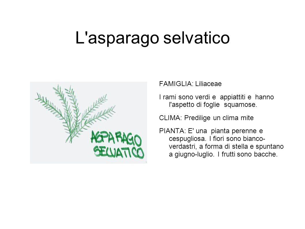 L asparago selvatico FAMIGLIA: Liliaceae