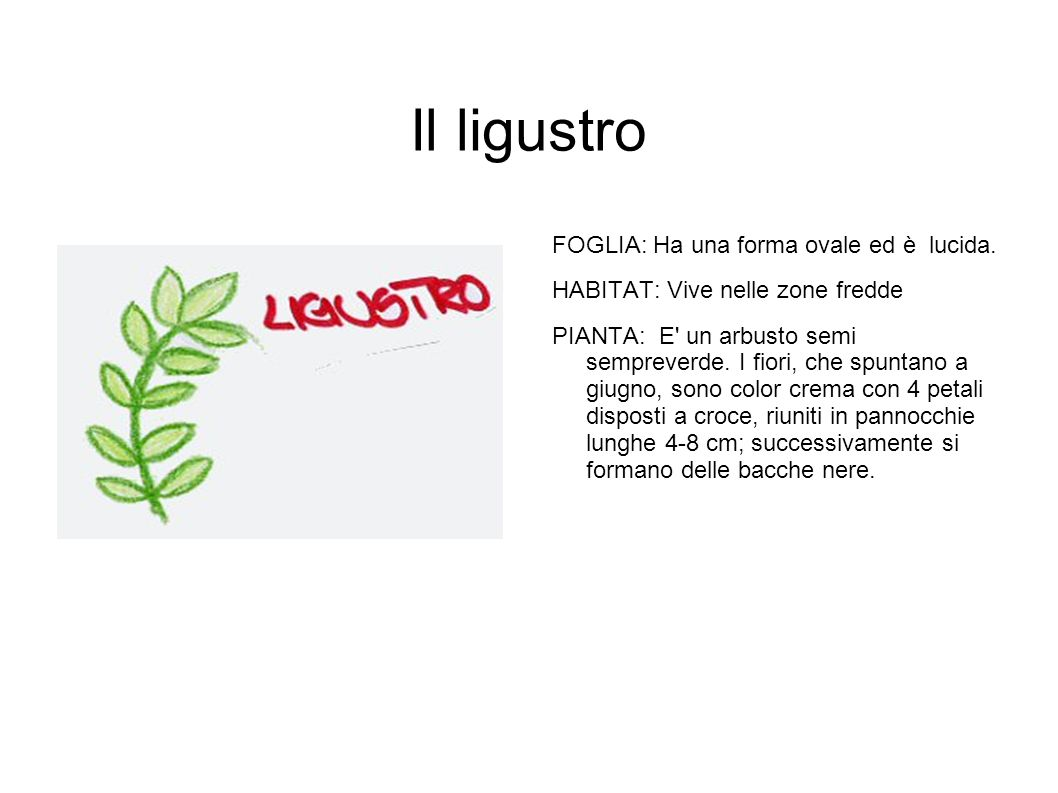Il ligustro FOGLIA: Ha una forma ovale ed è lucida.
