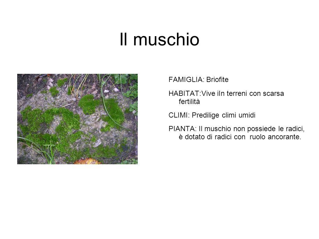 Il muschio FAMIGLIA: Briofite