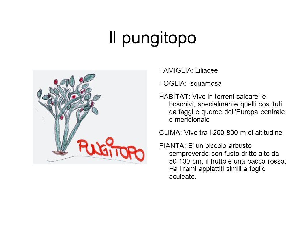 Il pungitopo FAMIGLIA: Liliacee FOGLIA: squamosa