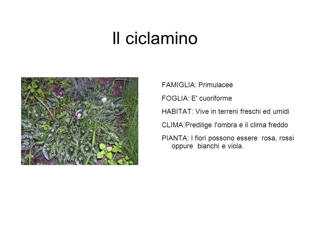 Il ciclamino FAMIGLIA: Primulacee FOGLIA: E cuoriforme