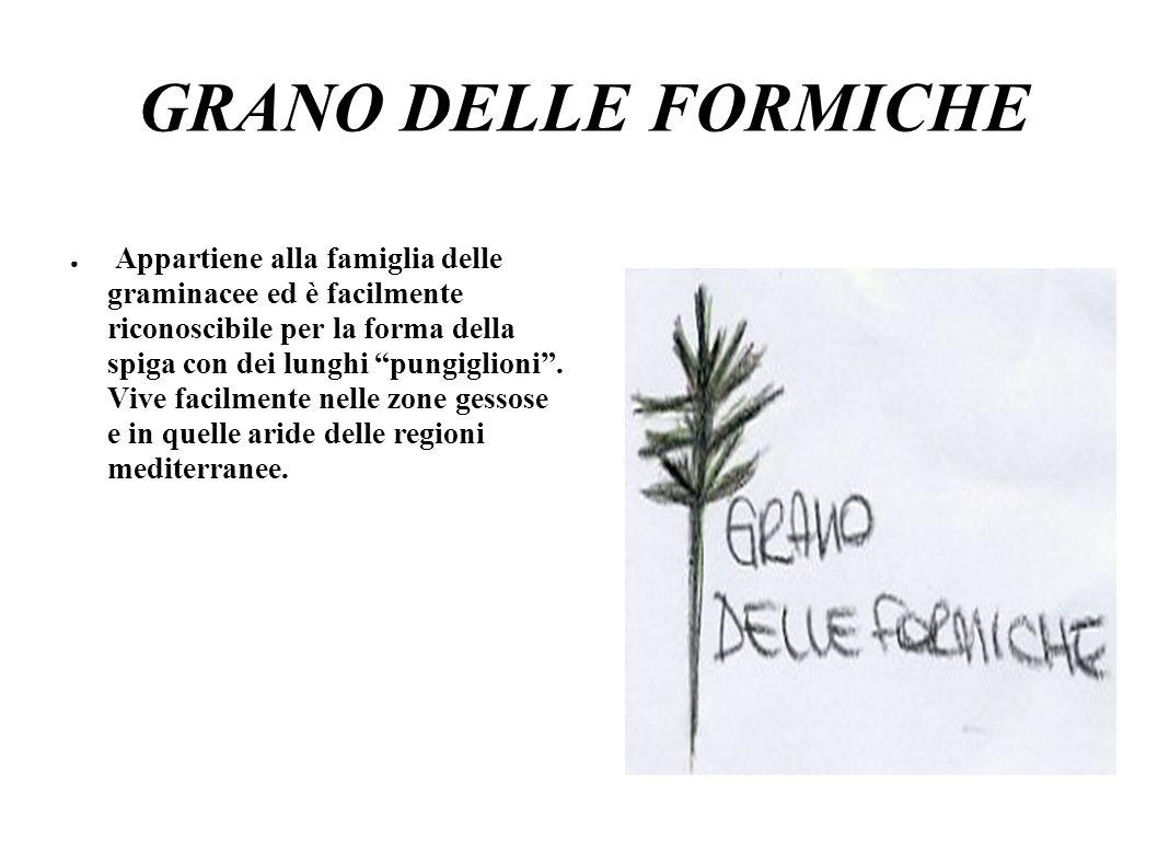 GRANO DELLE FORMICHE