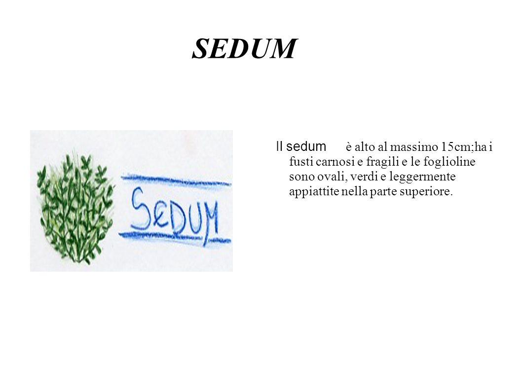 SEDUM