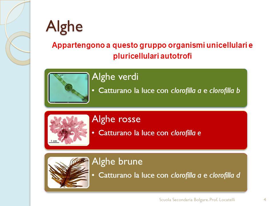 Alghe Appartengono a questo gruppo organismi unicellulari e pluricellulari autotrofi. Alghe verdi.