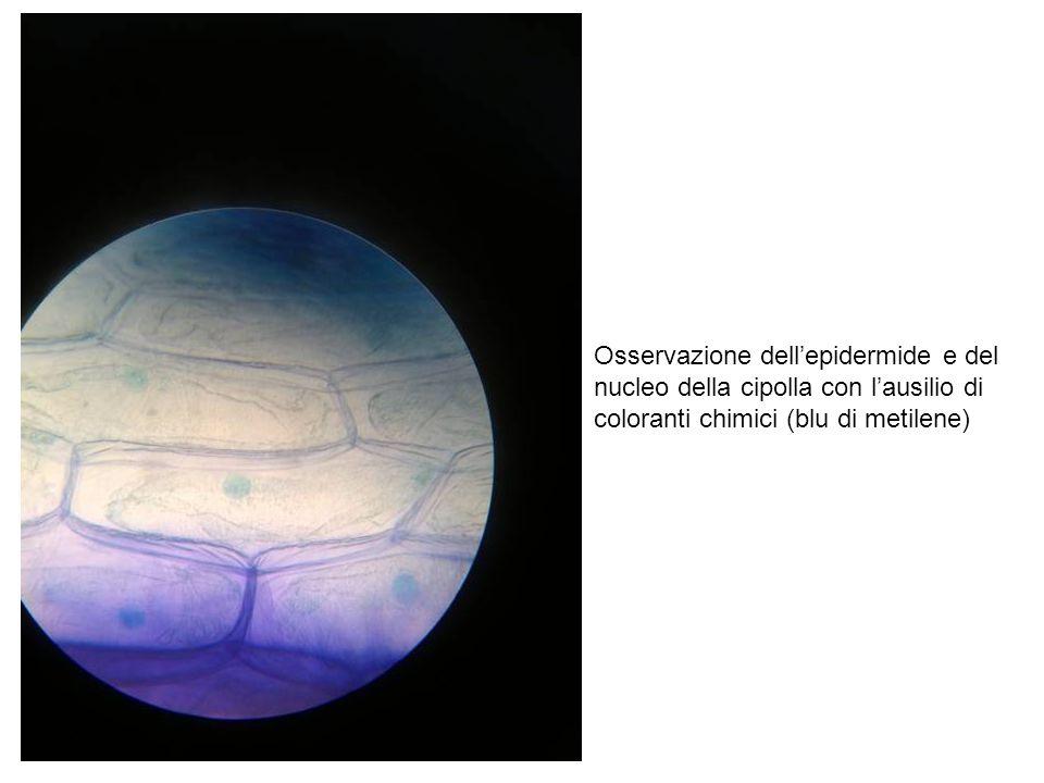 Osservazione dell'epidermide e del nucleo della cipolla con l'ausilio di