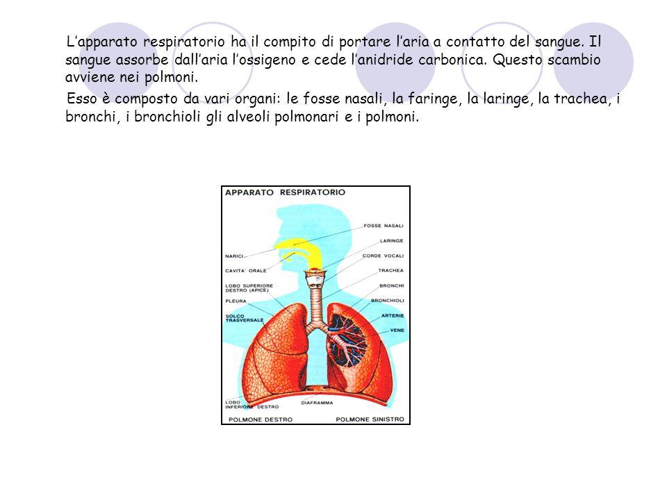 L'apparato respiratorio ha il compito di portare l'aria a contatto del sangue. Il sangue assorbe dall'aria l'ossigeno e cede l'anidride carbonica. Questo scambio avviene nei polmoni.