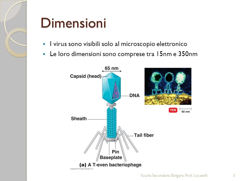 Dimensioni I virus sono visibili solo al microscopio elettronico