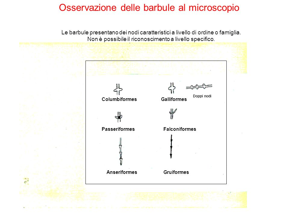 Osservazione delle barbule al microscopio