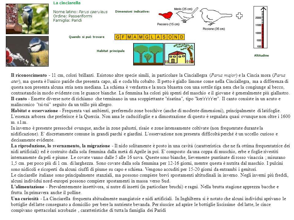 La cinciarellaNome latino: Parus caeruleus Ordine: Passeriformi Famiglia: Paridi. Dimensioni indicative:
