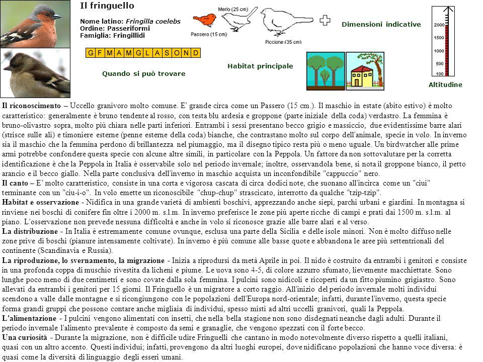 Il fringuelloNome latino: Fringilla coelebs Ordine: Passeriformi Famiglia: Fringillidi. Dimensioni indicative.