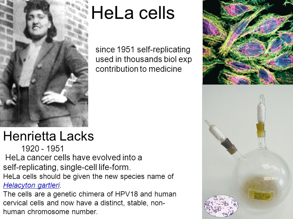 HeLa cells Henrietta Lacks since 1951 self-replicating