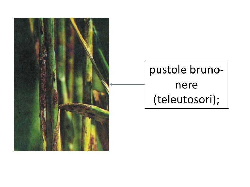 pustole bruno-nere (teleutosori);