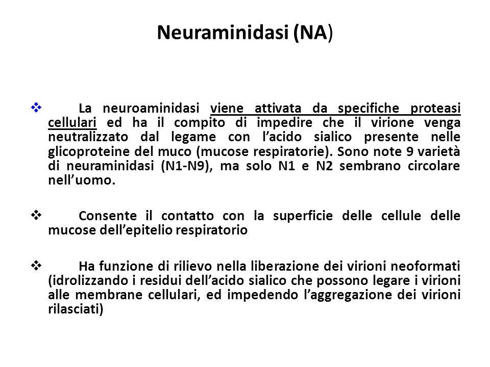 Neuraminidasi (NA)