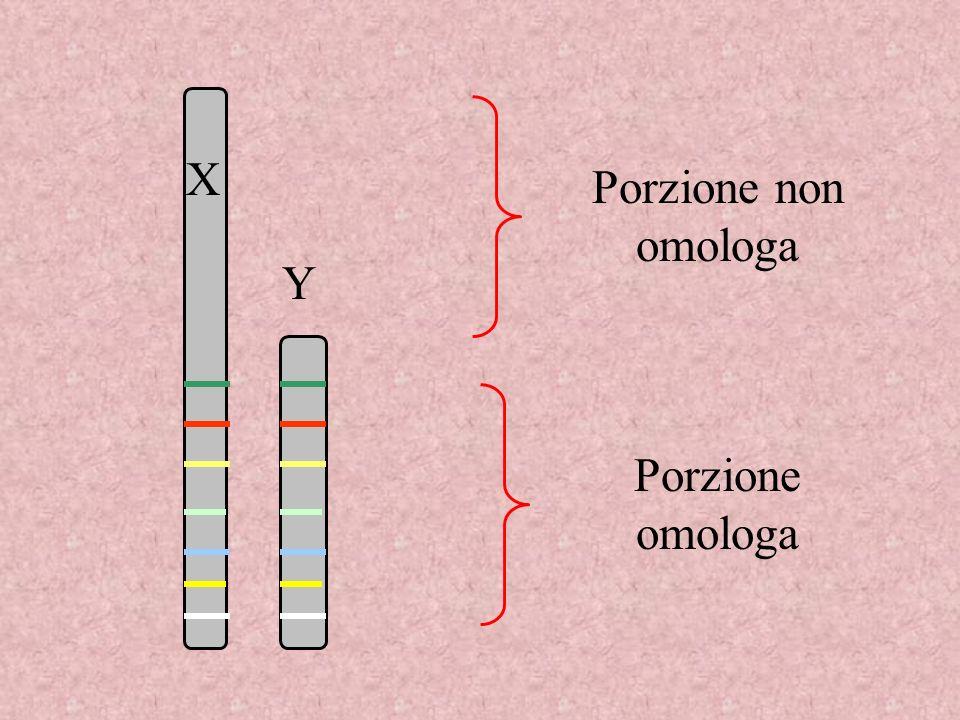 X Porzione non omologa Y Porzione omologa