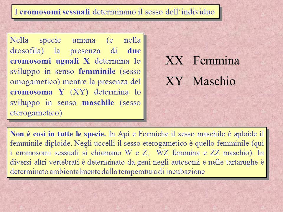 I cromosomi sessuali determinano il sesso dell'individuo