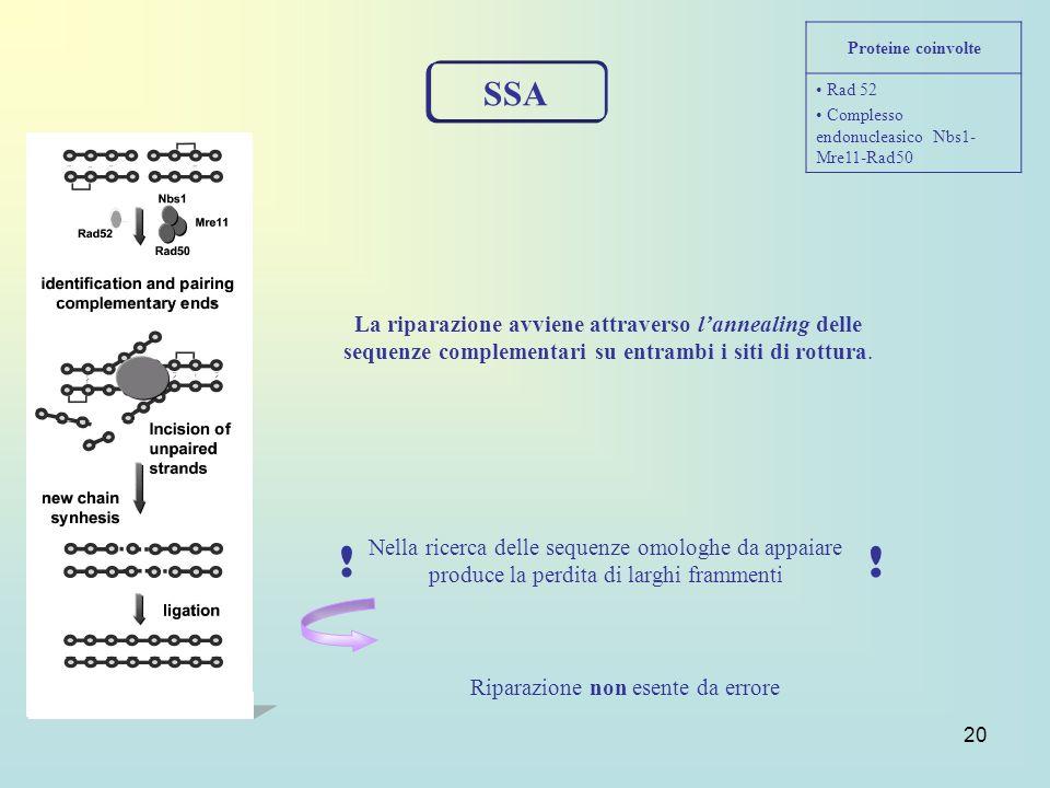 Proteine coinvolte Rad 52. Complesso endonucleasico Nbs1-Mre11-Rad50. SSA.