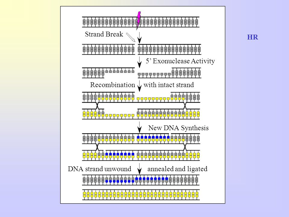 Strand Break HR. 5' Exonuclease Activity. Recombination with intact strand. New DNA Synthesis.