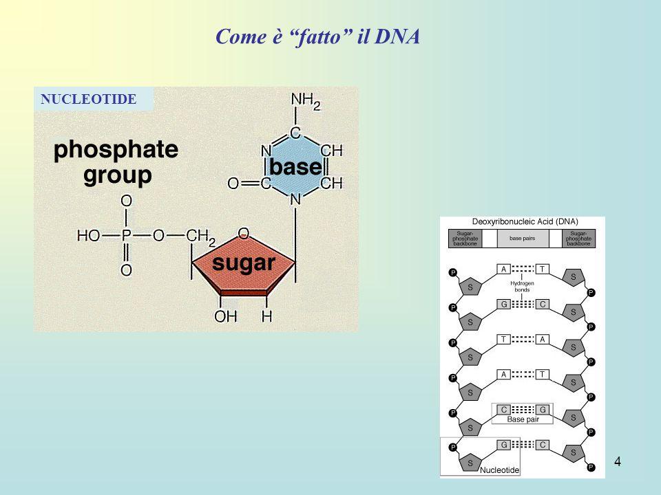 Come è fatto il DNA NUCLEOTIDE