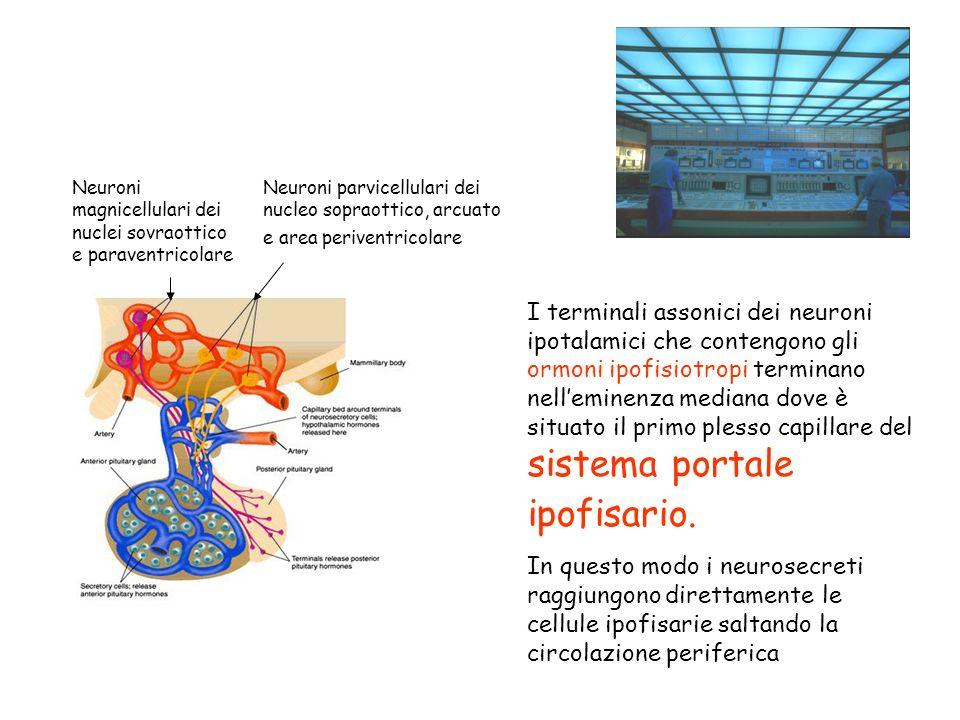 Neuroni magnicellulari dei nuclei sovraottico e paraventricolare