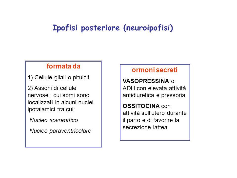 Ipofisi posteriore (neuroipofisi)