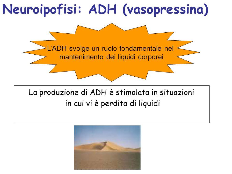 Neuroipofisi: ADH (vasopressina)