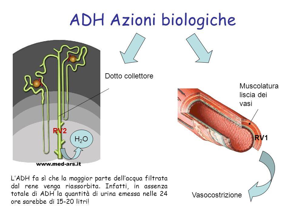 ADH Azioni biologiche Dotto collettore Muscolatura liscia dei vasi RV2
