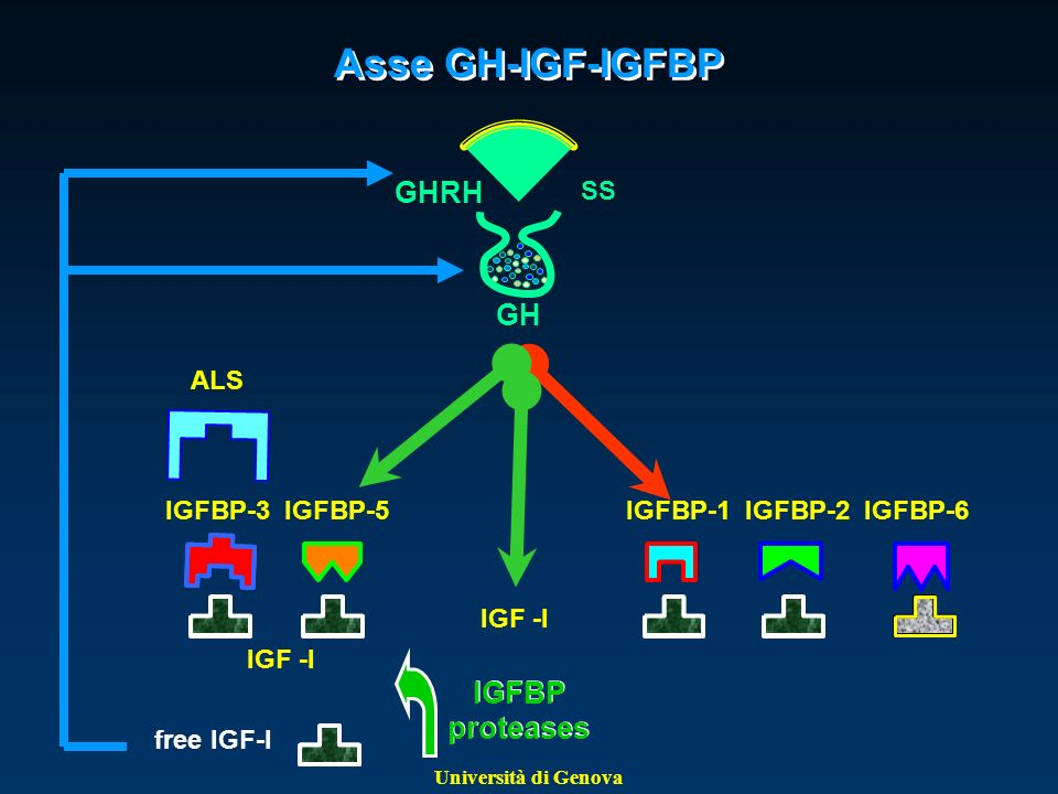 Asse GH-IGF-IGFBP GHRH GH IGFBP proteases SS ALS IGFBP-3 IGFBP-5
