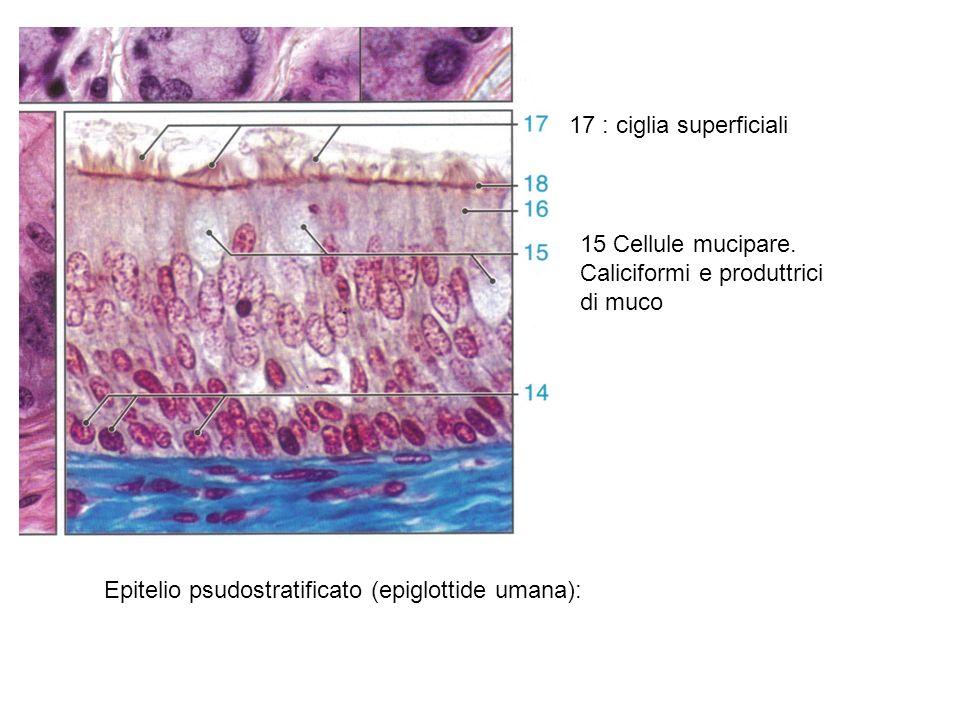 17 : ciglia superficiali 15 Cellule mucipare. Caliciformi e produttrici di muco.