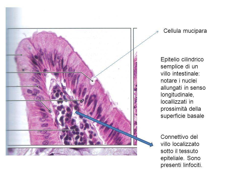 Cellula mucipara