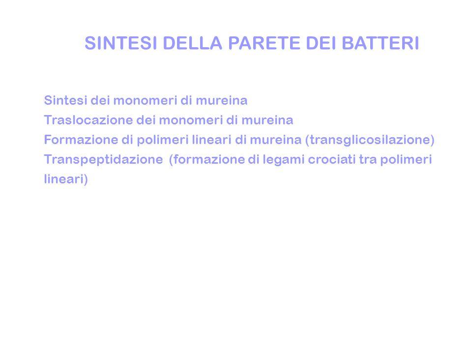 SINTESI DELLA PARETE DEI BATTERI