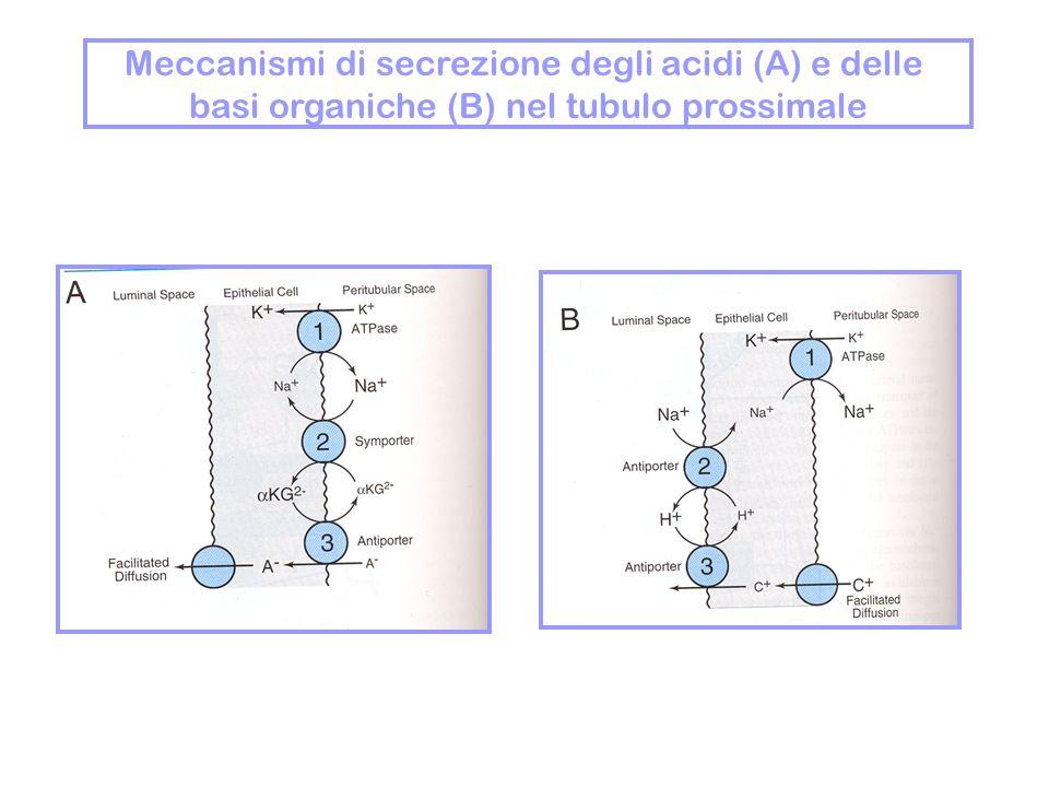 Meccanismi di secrezione degli acidi (A) e delle