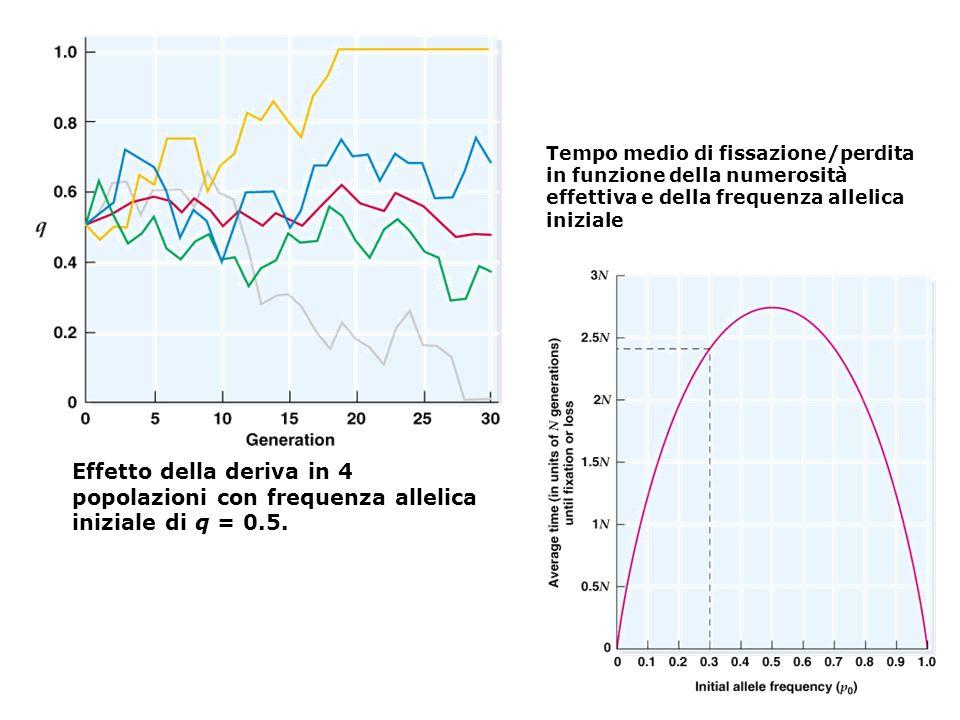 Effetto della deriva in 4 popolazioni con frequenza allelica iniziale di q = 0.5.