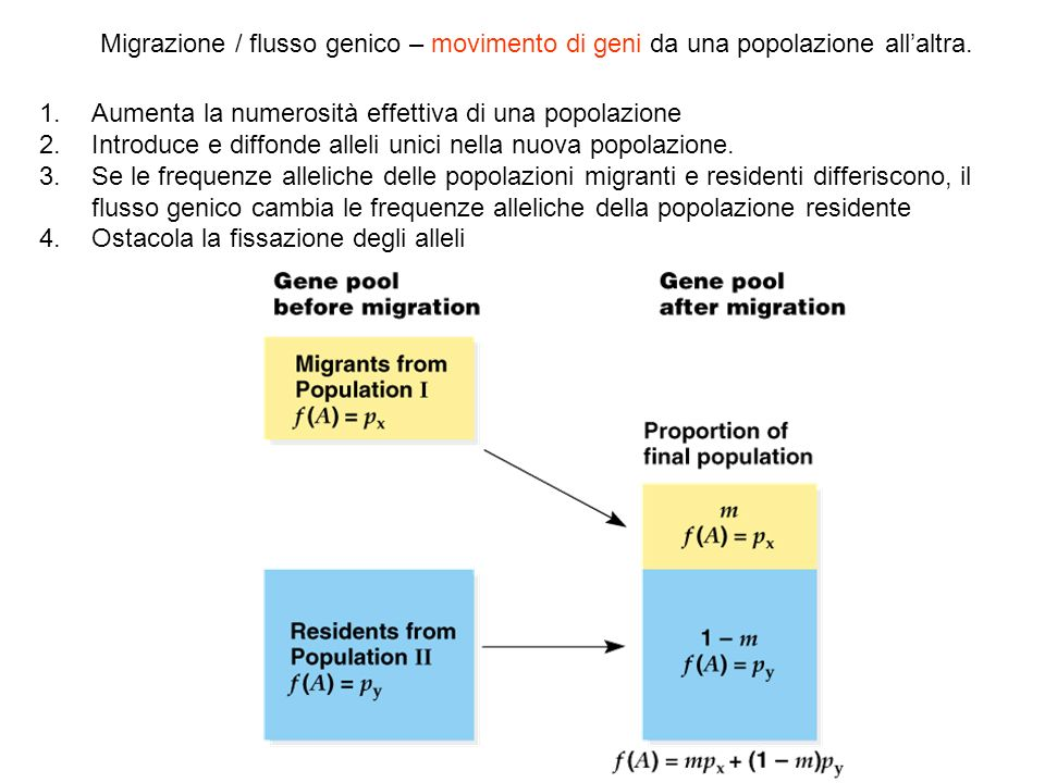 Migrazione / flusso genico – movimento di geni da una popolazione all'altra.