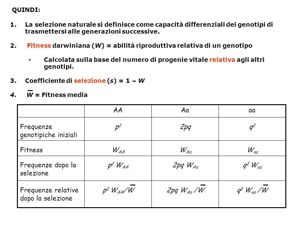 Frequenze relative dopo la selezione q2 Waa 2pq WAa p2 WAA