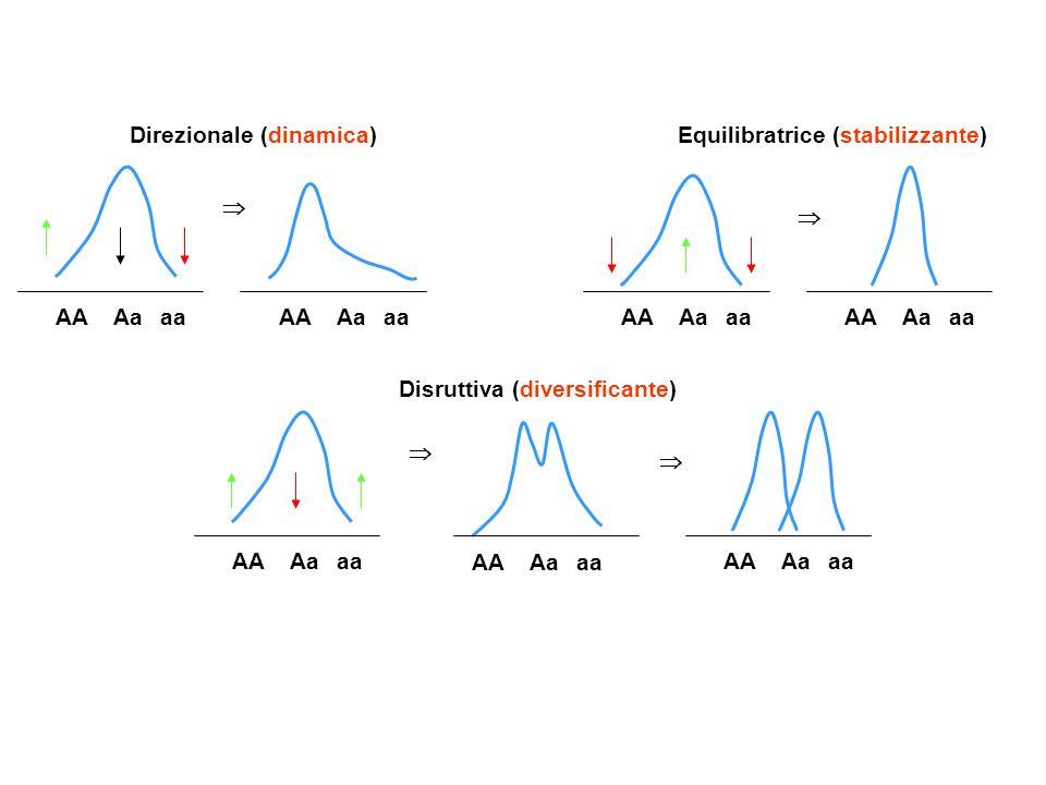 AA Aa aa Direzionale (dinamica) Equilibratrice (stabilizzante) Disruttiva (diversificante) 